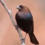 birdcout_davor